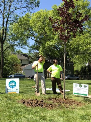 The tree is finally planted thanks to Mariemont Maintenance Dept.